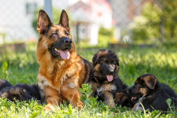 German shephard puppies for sale in kolkata