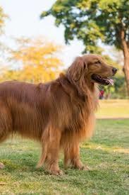 Golden retriever puppy for salein Kolkata