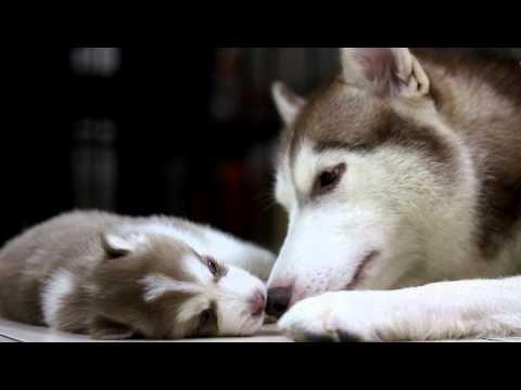 Husky puppies for sale in Kolkata