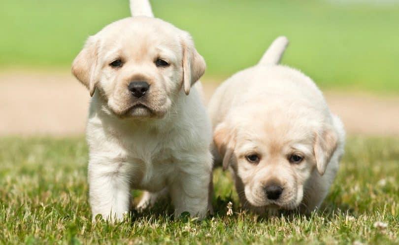 Lab puppy for sale in Kolkata
