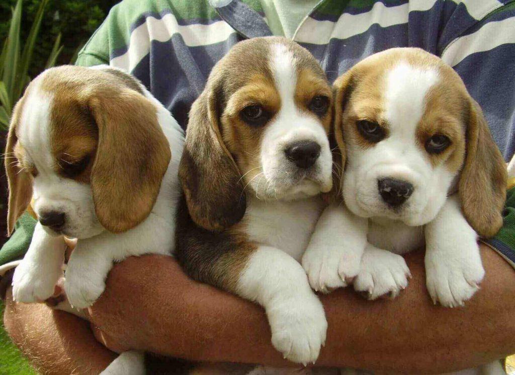 Beagle dog puppy for sale in Kolkata