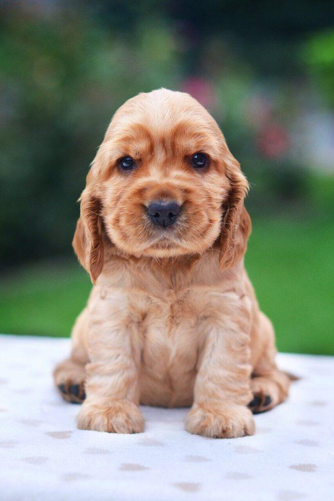 cocker spaniel puppy for sale in kolkata