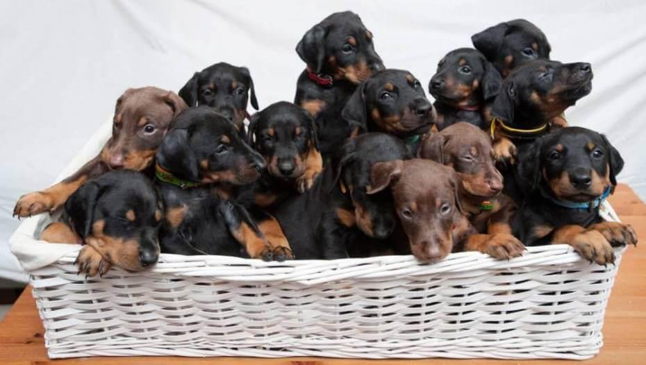 doberman puppy for sale in Kolkata
