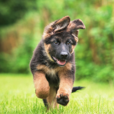 GSD puppy for sale in Kolkata