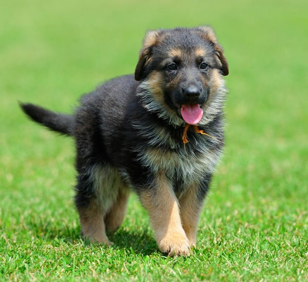 GSD puppies for sale in Kolkata