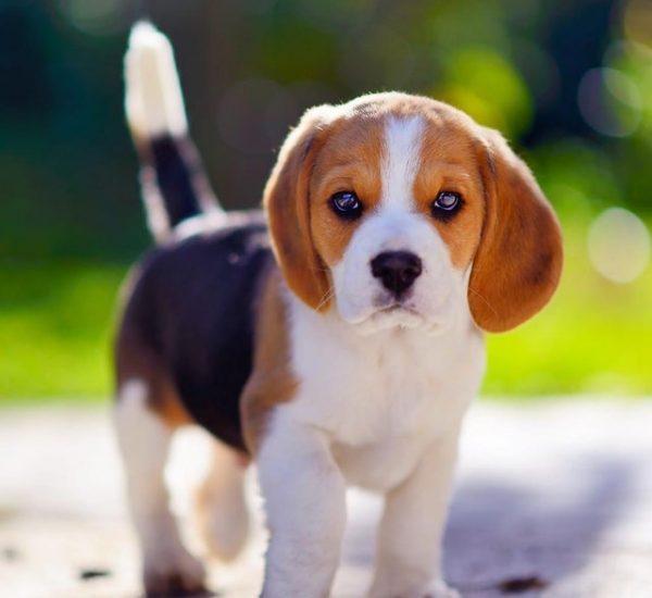 beagle-pup-dogforsalekolkata