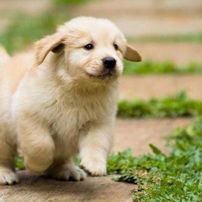 golden retriever puppy for sale in Kolkata