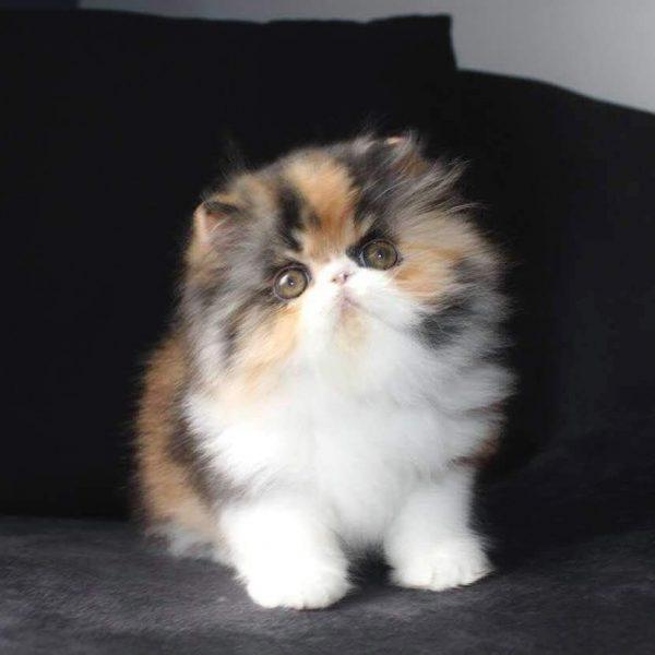 persian cat1