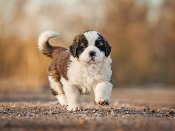 saint bernard puppy for sale in Kolkata